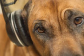 Ridgeback and headphones — Stock Photo