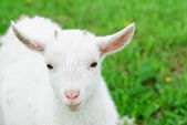 Domestic Goat- goatling — Stock Photo