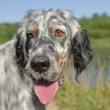 Setter- hunting dog — Stock Photo