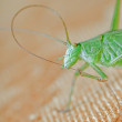 Grasshopper green — Stock Photo #2212628