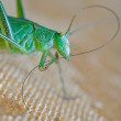 Locust macro — Stock Photo #2215294
