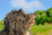 Shaggy dog — Stock Photo