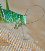 Locust macro — Stock Photo