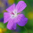Stock Photo: Geranium- selective focus