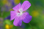 Geranium- selective focus — Stock Photo