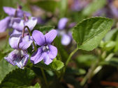 Early Dog Violet — Stock Photo
