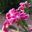 Carnation - Cheddar Pinks — Stock Photo