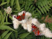 Peacock butterflies — Stock Photo