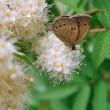 Ringlet butterfly — Stock Photo #2368981