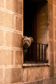 One dog on the balcony in Zaragoza — Stock Photo