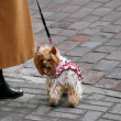 Yorkshire Terrier on a cobblestone - Stock Photo