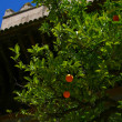 Orange tree on the street Huelva, Spain — Stock Photo