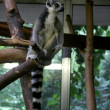 Lemur on Amsterdam Zoo — Stock Photo #2455692
