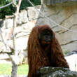 Orangutan in Berlin Zoo — Stock Photo