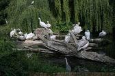 Pelicans family in the zoo-garden Berlin — Stock Photo