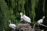 Pelican in the zoo-garden Berlin — Stock Photo