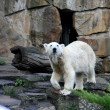 White bear zoo Berlin — Stockfoto