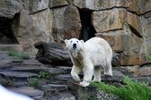 White bear zoo Berlin — Stock Photo