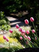 Rosa tulpen — Stockfoto