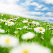 Foto Stock: Daisies under sky