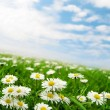 Stockfoto: Daisies under sky