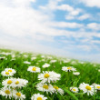 Foto de Stock  : Daisies under sky