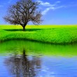 Lonely Tree in a Yellow Field reflecting — Stock Photo
