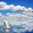 Graceful swan swimming in the ocean - Stock Photo