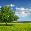 Lonely Tree in a Yellow Field - Stock Photo