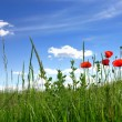 Poppies in field - Stockfoto