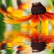 Orange flower reflected in the water - Photo