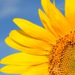Foto de Stock  : Beautiful sunflowers with blue sky