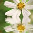 Zdjęcie stockowe: Closeup of white daisy reflected