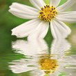 Foto de Stock  : Closeup of white daisy reflected