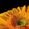 yellow daisy gerbera flower — Stock Photo