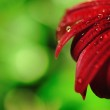Beautiful Daisy with raindrops Dof — Stock Photo