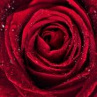 Стоковое фото: Beautiful red rose with rain drops