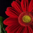 Red daisy on black bockground — Stockfoto #2079365