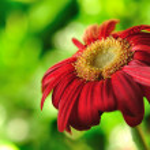 Red daisy gerbera flower Depth of field — Stock Photo