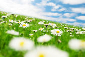 Daisies under the sky — Stock Photo