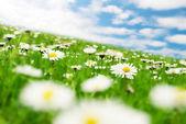 Daisies under the sky — Stock Photo