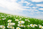 Daisies under the sky — Stock fotografie