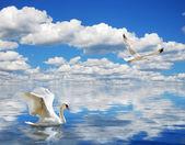 Agraciado cisne nadando en el océano — Foto de Stock