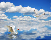 Graciös svan simning i havet — Stockfoto