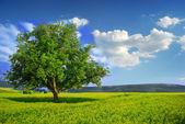 árvore solitária em um campo amarelo — Foto Stock
