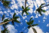 异国风情的棕榈树在天空,蓬塔卡纳 — 图库照片