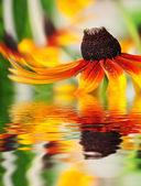 Flor de naranja reflejada en el agua — Foto de Stock