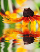 Orange flower reflected in the water — Stock Photo