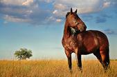 马和字段 — 图库照片
