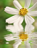 Closeup of white daisy reflected — Stock Photo